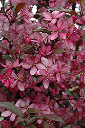 Royal Raindrops Flowering Crab (Malus 'Royal Raindrops') at Longfellow's Greenhouses