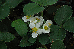 Honeoye Strawberry (Fragaria 'Honeoye') at Longfellow's Greenhouses
