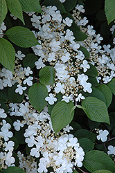 Maries Doublefile Viburnum (Viburnum plicatum 'Mariesii') at Longfellow's Greenhouses