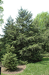 Canadian Hemlock (Tsuga canadensis) at Longfellow's Greenhouses