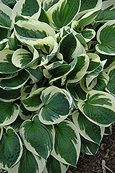 Patriot Hosta (Hosta 'Patriot') at Longfellow's Greenhouses