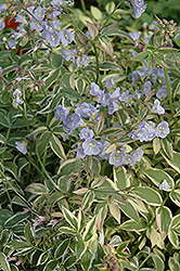 Touch Of Class Jacob's Ladder (Polemonium reptans 'Touch Of Class') at Longfellow's Greenhouses