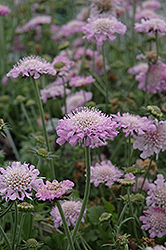 Pink Mist Pincushion Flower (Scabiosa 'Pink Mist') at Longfellow's Greenhouses
