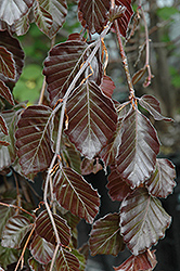 Purple Fountain Beech (Fagus sylvatica 'Purple Fountain') at Longfellow's Greenhouses