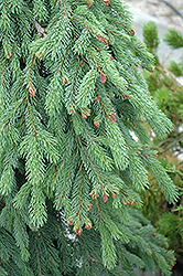 Weeping White Spruce (Picea glauca 'Pendula') at Longfellow's Greenhouses