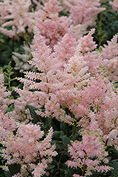 Peach Blossom Astilbe (Astilbe x rosea 'Peach Blossom') at Longfellow's Greenhouses