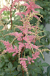 Bressingham Beauty Astilbe (Astilbe x arendsii 'Bressingham Beauty') at Longfellow's Greenhouses