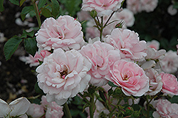 Bonica® Rose (Rosa 'Meidomonac') at Longfellow's Greenhouses