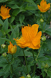 Golden Queen Globeflower (Trollius chinensis 'Golden Queen') at Longfellow's Greenhouses