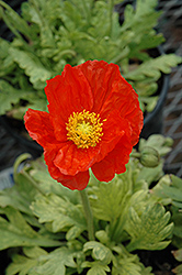 Garden Gnome Poppy (Papaver nudicaule 'Garden Gnome') at Longfellow's Greenhouses