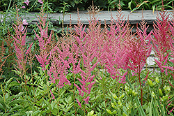 Visions in Pink Chinese Astilbe (Astilbe chinensis 'Visions in Pink') at Longfellow's Greenhouses