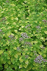 Golden Oregano (Origanum vulgare 'Aureum') at Longfellow's Greenhouses