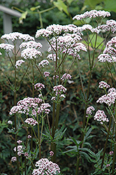Common Valerian (Valeriana officinalis) at Longfellow's Greenhouses