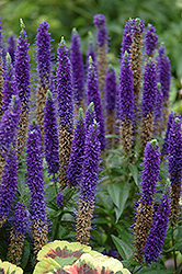 Royal Candles Speedwell (Veronica spicata 'Royal Candles') at Longfellow's Greenhouses