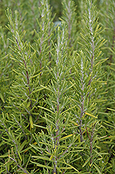 Upright Rosemary (Rosmarinus officinalis 'Upright') at Longfellow's Greenhouses