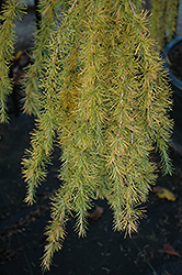 Varied Directions Larch (Larix decidua 'Varied Directions') at Longfellow's Greenhouses