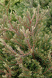 Heatherbun Whitecedar (Chamaecyparis thyoides 'Heatherbun') at Longfellow's Greenhouses