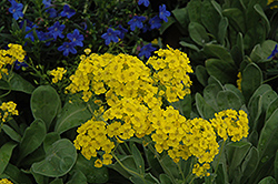 Basket Of Gold Alyssum (Aurinia saxatilis) at Longfellow's Greenhouses