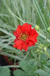 Red Dragon Avens (Geum 'Red Dragon') at Longfellow's Greenhouses