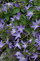 Serbian Bellflower (Campanula poscharskyana) at Longfellow's Greenhouses