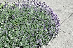 Munstead Lavender (Lavandula angustifolia 'Munstead') at Longfellow's Greenhouses
