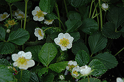 Seascape Strawberry (Fragaria 'Seascape') at Longfellow's Greenhouses