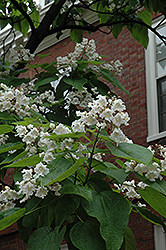 Northern Catalpa (Catalpa speciosa) at Longfellow's Greenhouses