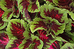 Kong Red Coleus (Solenostemon scutellarioides 'Kong Red') at Longfellow's Greenhouses