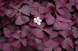 Charmed Wine Shamrock (Oxalis 'Charmed Wine') at Longfellow's Greenhouses