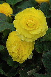 Nonstop® Yellow Begonia (Begonia 'Nonstop Yellow') at Longfellow's Greenhouses