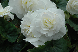 Nonstop® White Begonia (Begonia 'Nonstop White') at Longfellow's Greenhouses