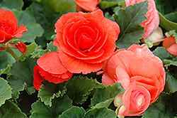 Nonstop® Deep Salmon Begonia (Begonia 'Nonstop Deep Salmon') at Longfellow's Greenhouses