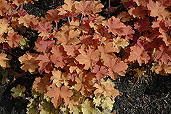 Caramel Coral Bells (Heuchera 'Caramel') at Longfellow's Greenhouses