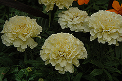 Vanilla Marigold (Tagetes erecta 'Vanilla') at Longfellow's Greenhouses