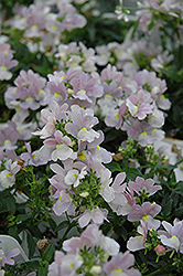 Opal Innocence Nemesia (Nemesia 'Opal Innocence') at Longfellow's Greenhouses