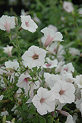 Supertunia Vista® Silverberry Petunia (Petunia 'Supertunia Vista Silverberry') at Longfellow's Greenhouses