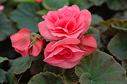 Solenia® Light Pink Begonia (Begonia 'Solenia Light Pink') at Longfellow's Greenhouses