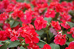 Fiesta Salsa Red Double Impatiens (Impatiens 'Fiesta Salsa Red') at Longfellow's Greenhouses