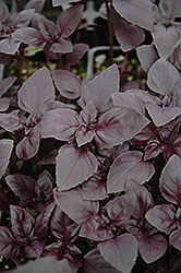 Red Rubin Basil (Ocimum basilicum 'Purpurascens') at Longfellow's Greenhouses