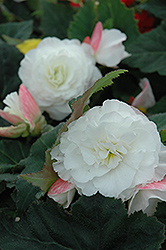 Nonstop® Appleblossom Begonia (Begonia 'Nonstop Appleblossom') at Longfellow's Greenhouses