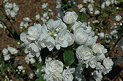 Snow White Sensation® Mockorange (Philadelphus 'Snow White Sensation') at Longfellow's Greenhouses