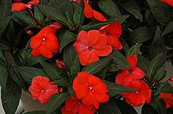 Super Sonic Dark Salmon New Guinea Impatiens (Impatiens hawkeri 'Super Sonic Dark Salmon') at Longfellow's Greenhouses