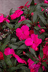 Super Sonic Pink New Guinea Impatiens (Impatiens hawkeri 'Super Sonic Pink') at Longfellow's Greenhouses