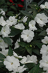Super Sonic White New Guinea Impatiens (Impatiens hawkeri 'Super Sonic White') at Longfellow's Greenhouses