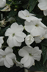 Sonic® White New Guinea Impatiens (Impatiens 'Sonic White') at Longfellow's Greenhouses