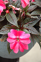 Sonic® Sweet Purple New Guinea Impatiens (Impatiens 'Sonic Sweet Purple') at Longfellow's Greenhouses