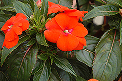 Sonic® Orange New Guinea Impatiens (Impatiens 'Sonic Orange') at Longfellow's Greenhouses