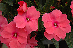 Sonic® Pink New Guinea Impatiens (Impatiens 'Sonic Pink') at Longfellow's Greenhouses