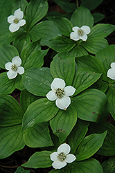 Bunchberry (Cornus canadensis) at Longfellow's Greenhouses