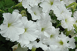 Madness White Petunia (Petunia 'Madness White') at Longfellow's Greenhouses